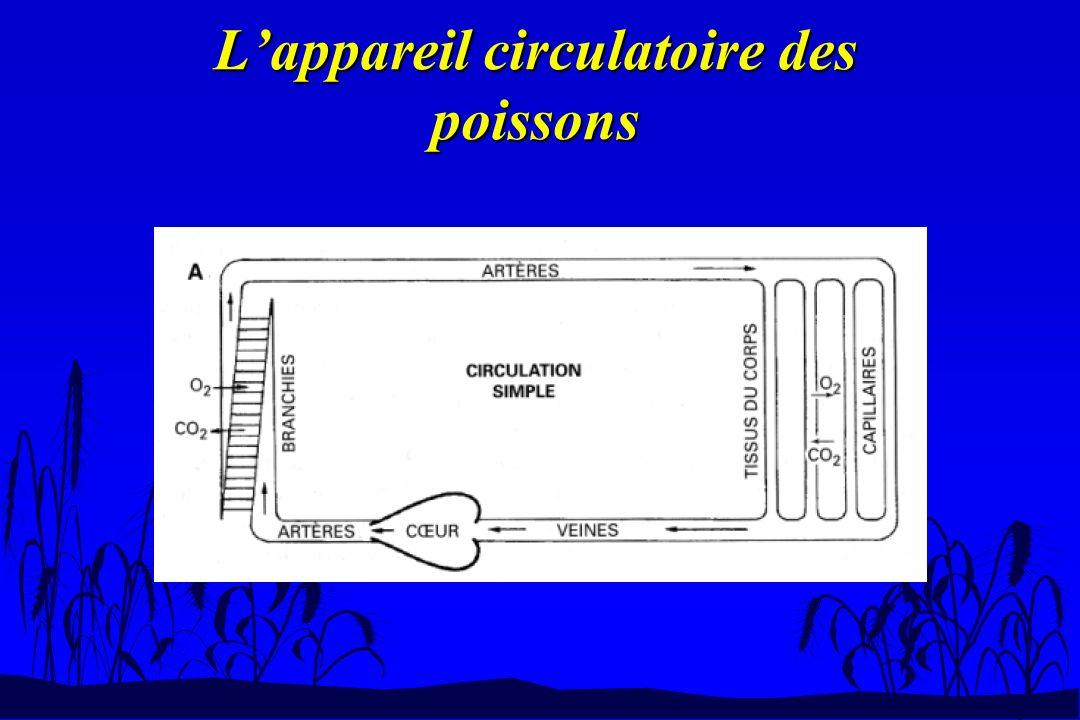 n Système veineux –Deux veines cardinales : veine cardinale antérieure et postérieure.