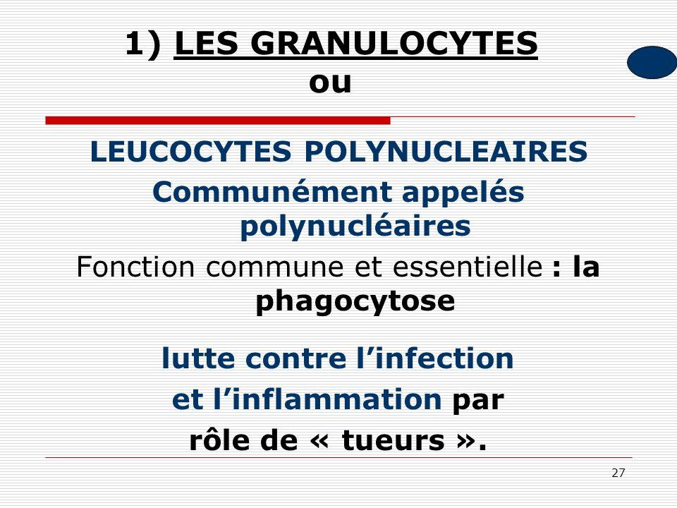 27 1) LES GRANULOCYTES ou LEUCOCYTES POLYNUCLEAIRES Communément appelés polynucléaires Fonction commune et essentielle : la phagocytose lutte contre l
