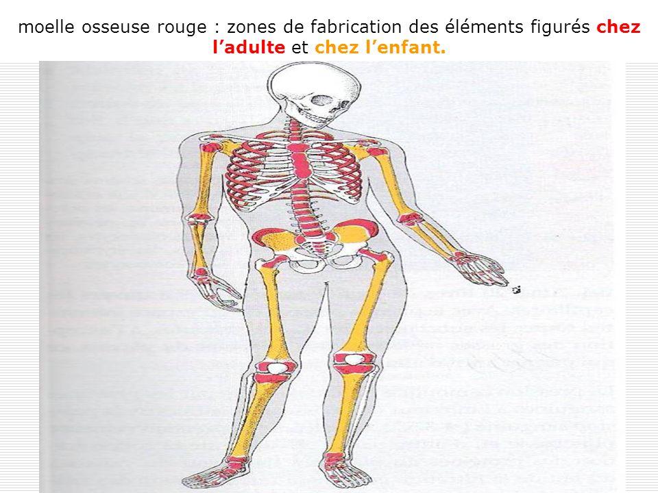 7 moelle osseuse rouge : zones de fabrication des éléments figurés chez ladulte et chez lenfant.