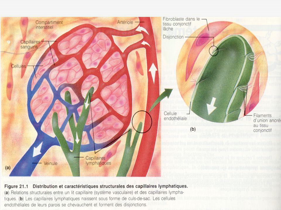 20 Les ganglions lymphatiques groupés le long des vx lymphatiques, ils se comptent par centaines et sont enchâssés dans le tissu conjonctif On trouve des groupes particulièrement étendus près de la surface des régions de laine, de laisselle, du cou 20