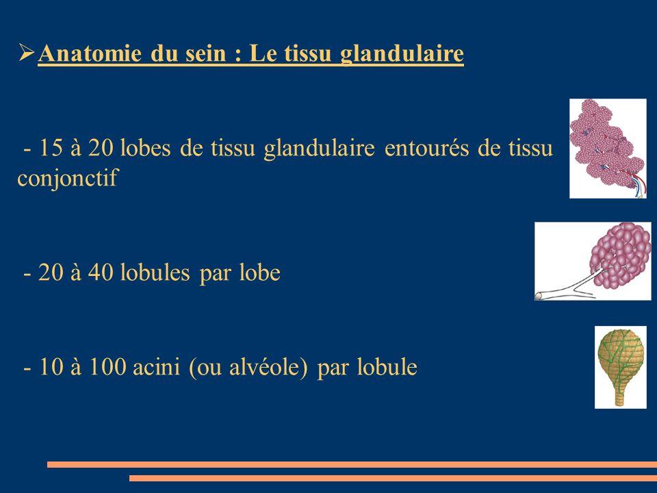 Anatomie du sein : Le tissu glandulaire - 15 à 20 lobes de tissu glandulaire entourés de tissu conjonctif - 20 à 40 lobules par lobe - 10 à 100 acini