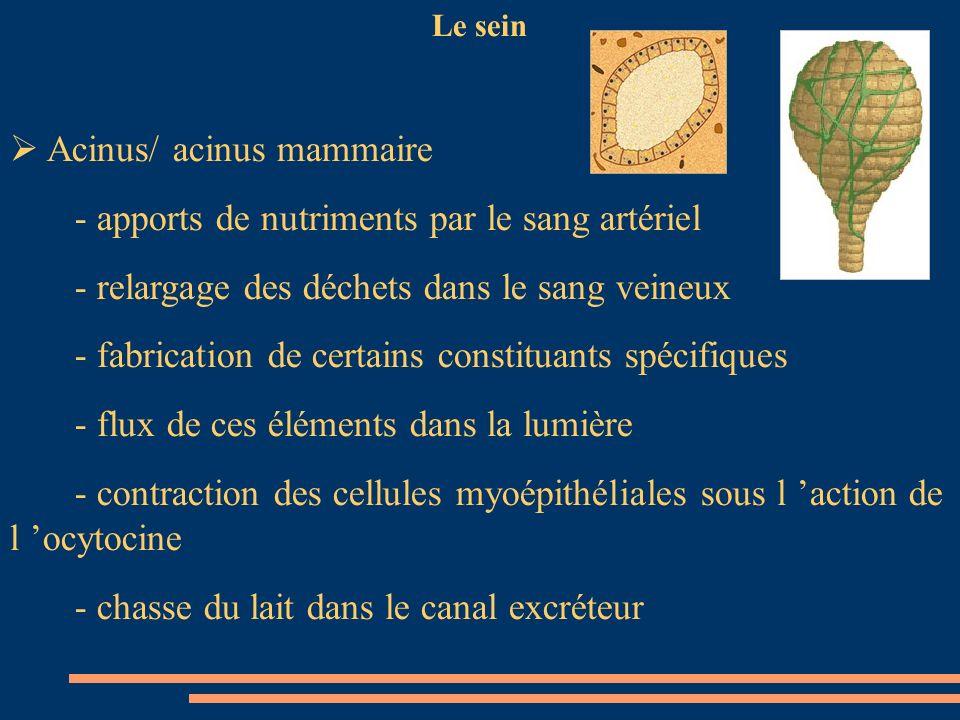 Le sein Acinus/ acinus mammaire - apports de nutriments par le sang artériel - relargage des déchets dans le sang veineux - fabrication de certains co