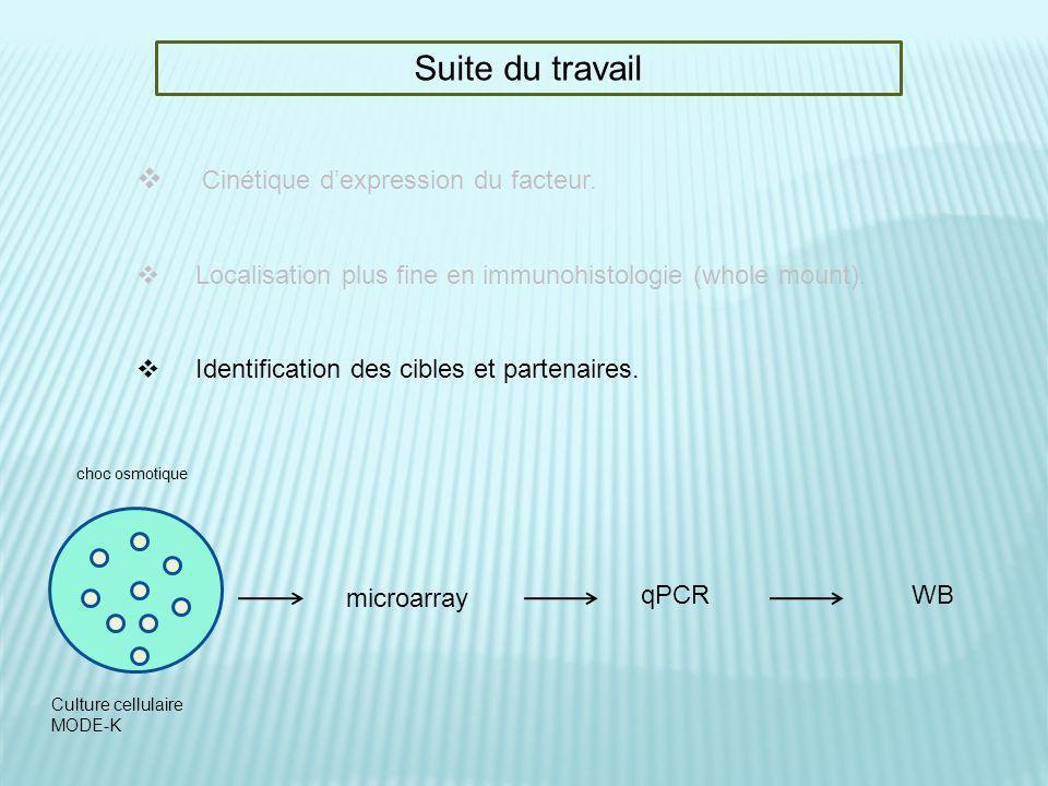 Suite du travail Cinétique dexpression du facteur. Localisation plus fine en immunohistologie (whole mount). Identification des cibles et partenaires.
