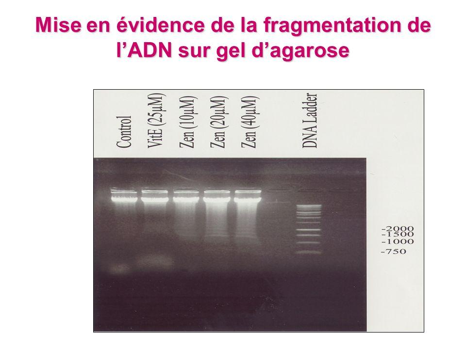 Mise en évidence de la fragmentation de lADN sur gel dagarose
