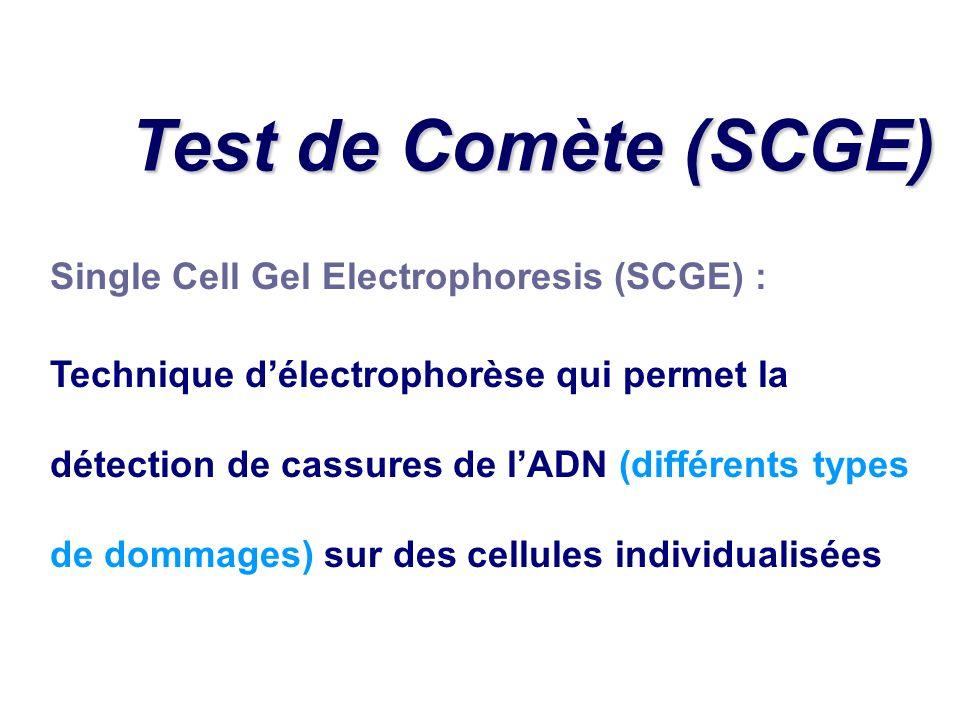 Single Cell Gel Electrophoresis (SCGE) : Technique délectrophorèse qui permet la détection de cassures de lADN (différents types de dommages) sur des