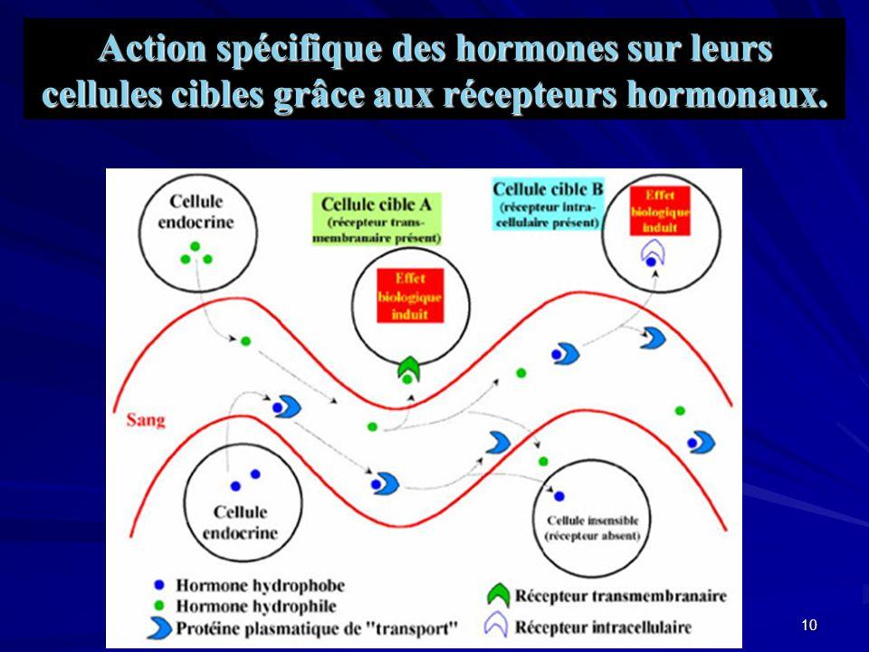 9 Les messagers moléculaires endocriniens peuvent se répartir en trois groupes en fonction de leurs natures biochimiques et de leurs mécanismes daction : Les différents types dhormone - Les hormones peptidiques.