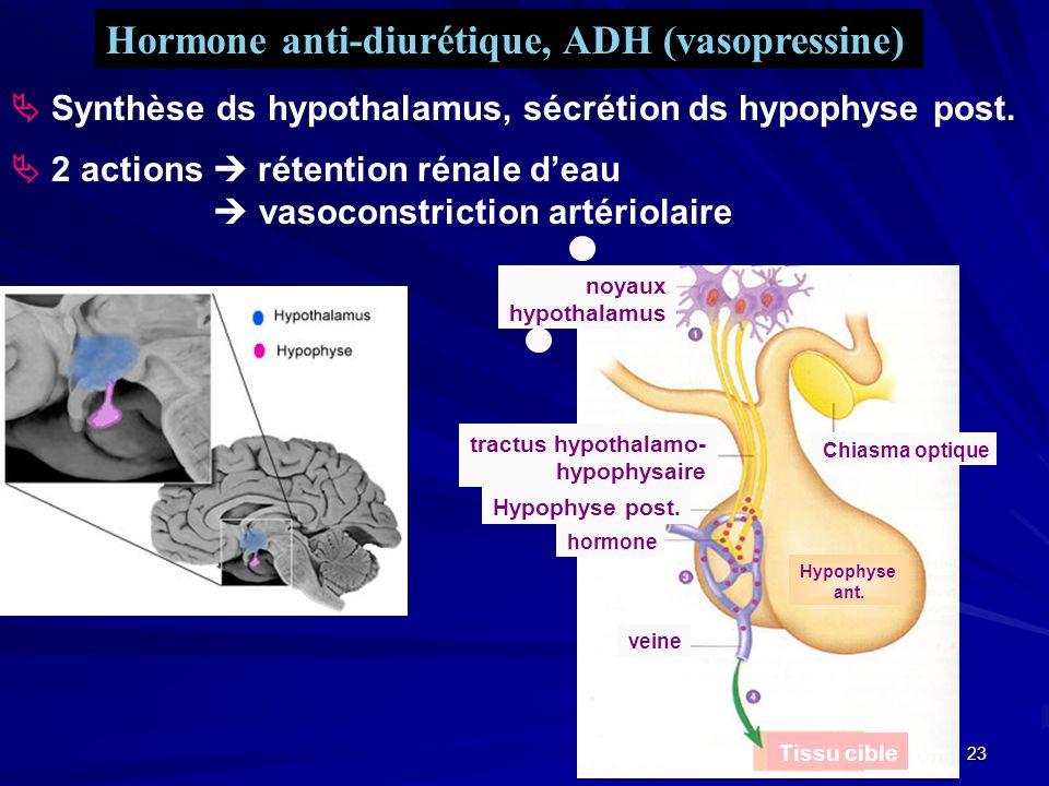 22 Neurohypophyse (lobe postérieur) Adénohypophyse (lobe antérieur) Neuro- hypophyse Adéno- hypophyse Chiasma optique os