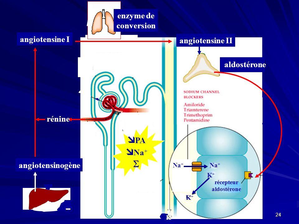 23 noyaux hypothalamus tractus hypothalamo- hypophysaire Hypophyse post.