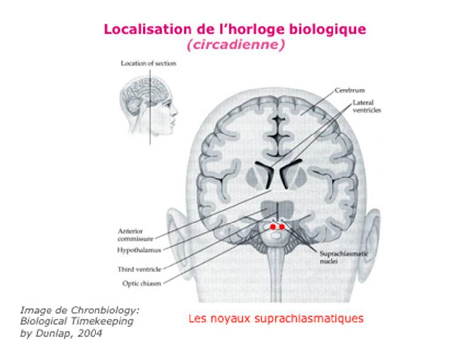Resynchronisation quotidienne de lhorloge par : –Stimuli extérieur (luminosité) grâce aux nerfs optiques (information provenant de cellules spéciales de la rétine) –Informations relayées à plusieurs structures par voie polyneuronale complexe –Action au niveau de la glande pinéale (épiphyse) : Inhibition ou augmentation de la sécrétion de l hormone mélatonine au niveau de la circulation sanguine pouvant atteindre tous les organes du corps (cœur, vaisseaux, glandes hormonales…)
