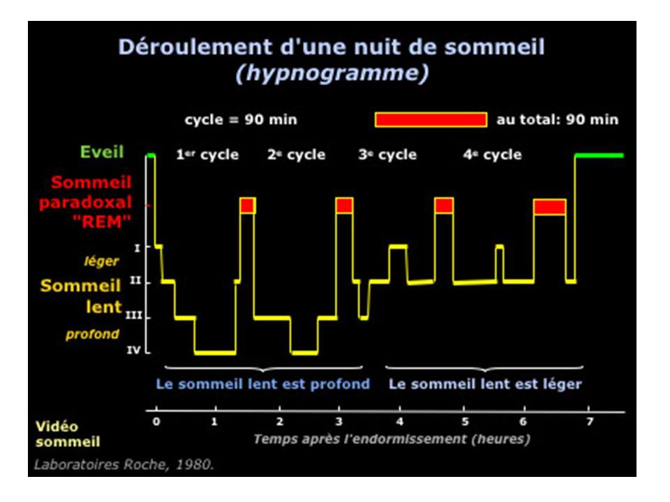 Les besoins de sommeil : Temps différents selon chacun –En général 7h30 à 8h de sommeil (4 cycles de 2h ou 5 cycles de 1h30) –« Petit dormeur » moins de 6h (4 cycles de 1h30, 5% population) –« Gros dormeur » plus de 9h (10 à15% population) Besoins qui évoluent pendant lenfance et deviennent constants après la fin de ladolescence Sommeil lent profond diminue avec lage (sommeil beaucoup plus léger)