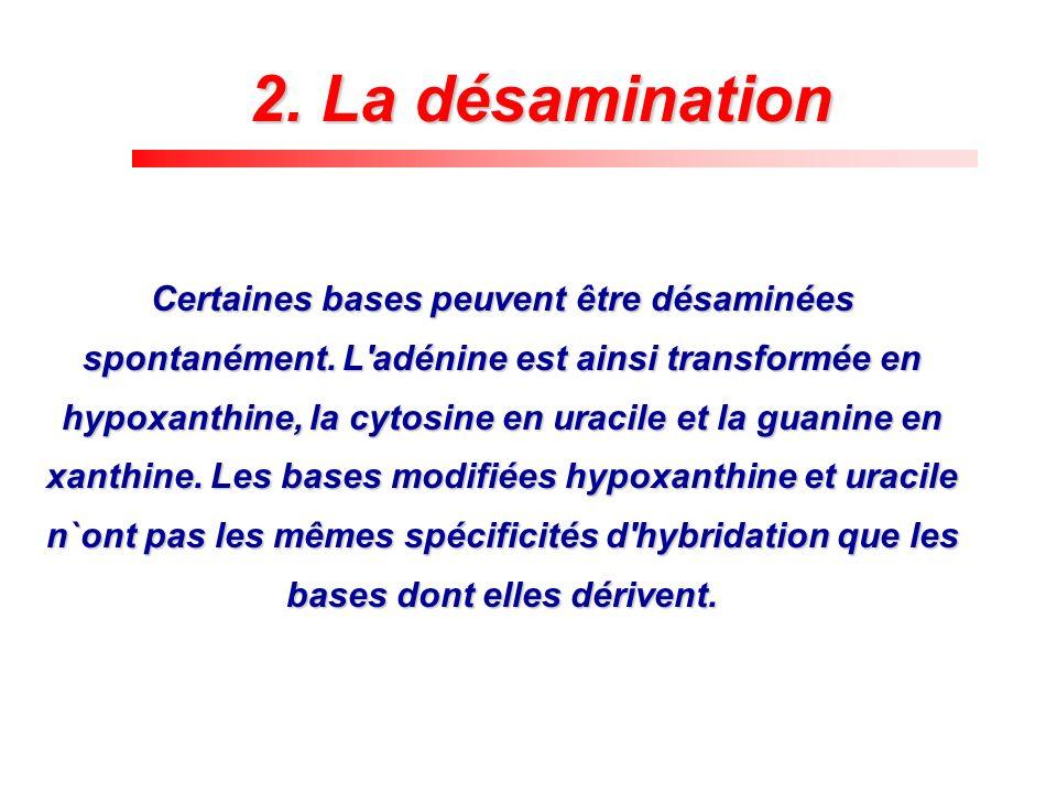 2. La désamination Certaines bases peuvent être désaminées spontanément. L'adénine est ainsi transformée en hypoxanthine, la cytosine en uracile et la