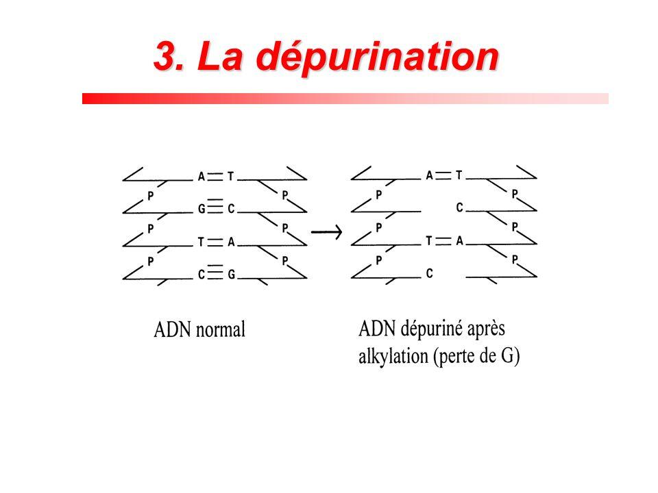 3. La dépurination