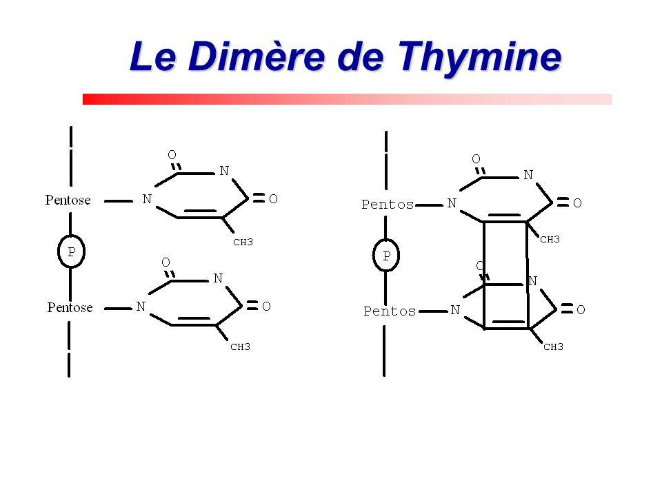 Le Dimère de Thymine