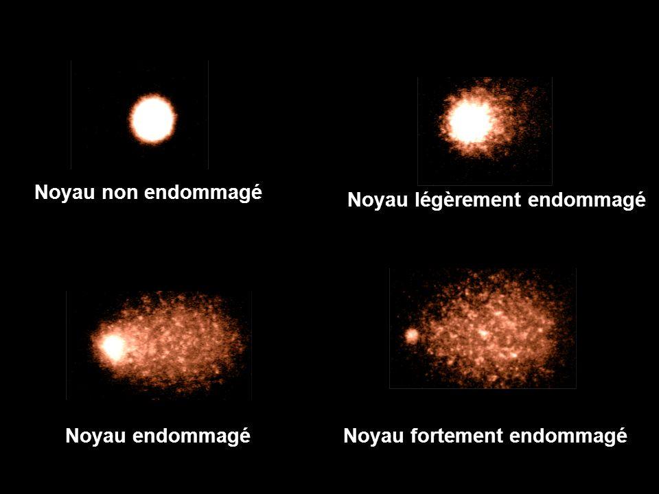 Noyau non endommagé Noyau légèrement endommagé Noyau endommagéNoyau fortement endommagé