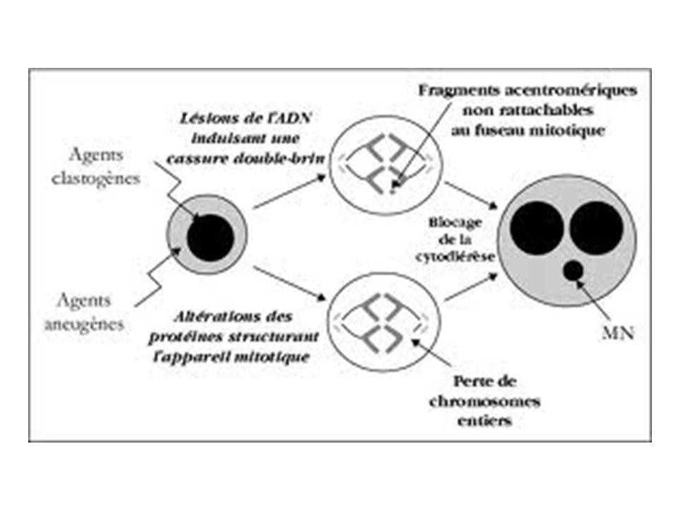 Si lattaque radicalaire touche des acides aminés localisés au site actif des enzymes clés du métabolisme, ceci peut entraîner leur inactivation.