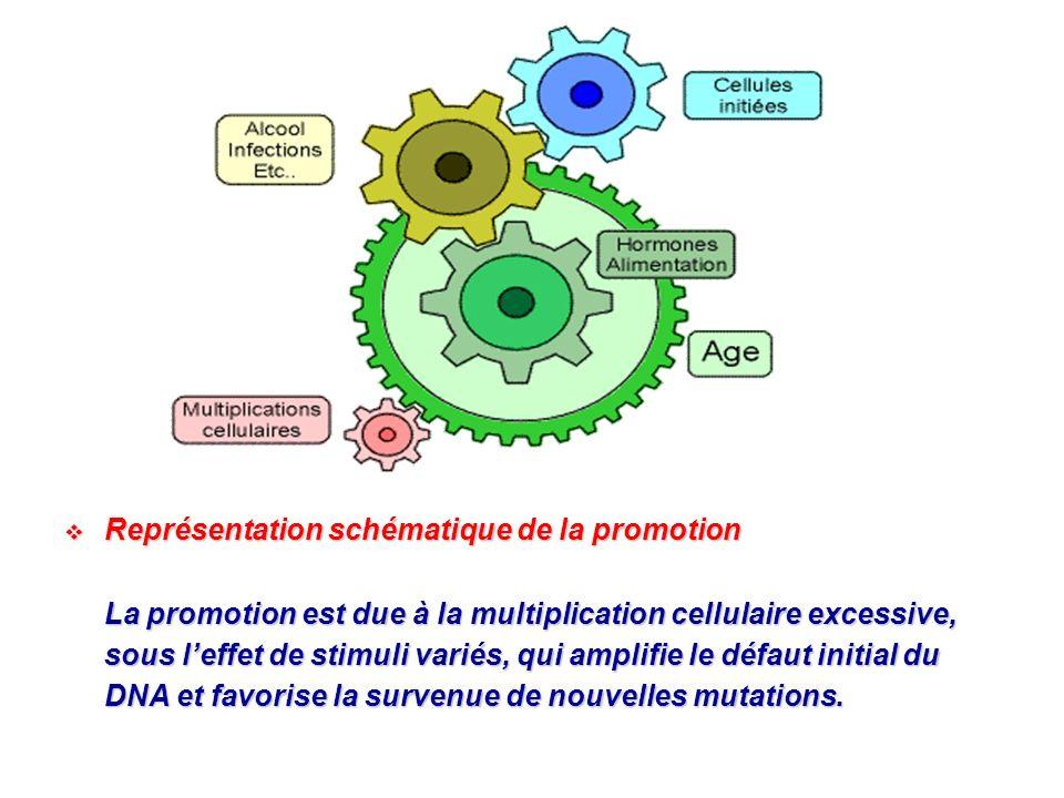 Représentation schématique de la promotion Représentation schématique de la promotion La promotion est due à la multiplication cellulaire excessive, s