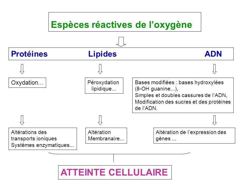 Espèces réactives de loxygène Protéines LipidesADN Péroxydation lipidique... Oxydation... Bases modifiées : bases hydroxylées (8-OH guanine...), Simpl