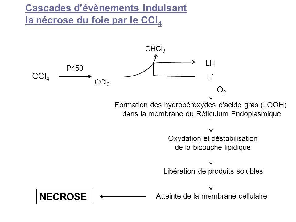 Cascades dévènements induisant la nécrose du foie par le CCl 4 Formation des hydropéroxydes dacide gras (LOOH) dans la membrane du Réticulum Endoplasm