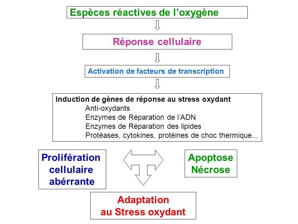 Espèces réactives de loxygène Réponse cellulaire Activation de facteurs de transcription Induction de gènes de réponse au stress oxydant Anti-oxydants