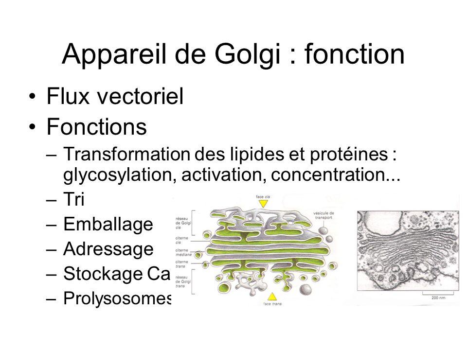 Appareil de Golgi : fonction Flux vectoriel Fonctions –Transformation des lipides et protéines : glycosylation, activation, concentration... –Tri –Emb
