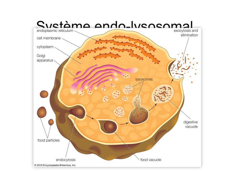 Péroxysomes Détoxification Lutte conte les radicaux libres Métabolisme des AG