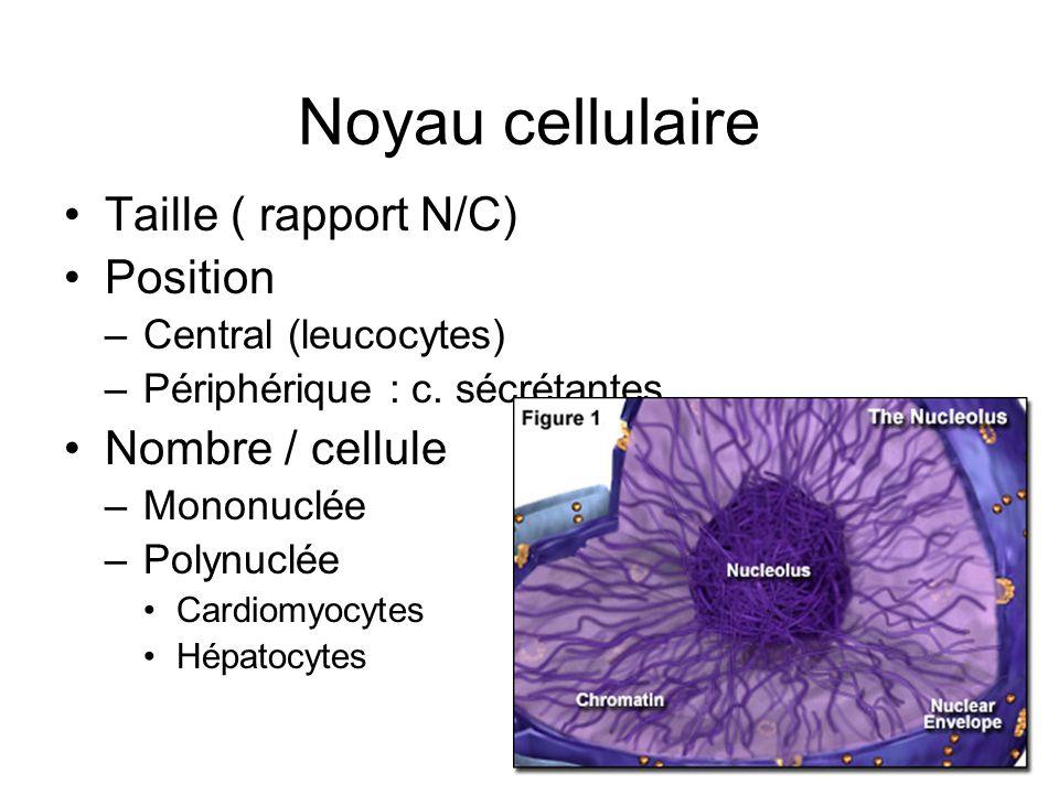 Noyau cellulaire Taille ( rapport N/C) Position –Central (leucocytes) –Périphérique : c. sécrétantes Nombre / cellule –Mononuclée –Polynuclée Cardiomy