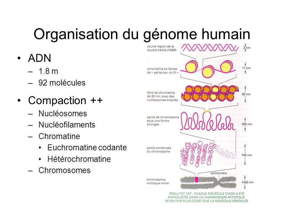 Organisation du génome humain ADN –1.8 m –92 molécules Compaction ++ –Nucléosomes –Nucléofilaments –Chromatine Euchromatine codante Hétérochromatine –