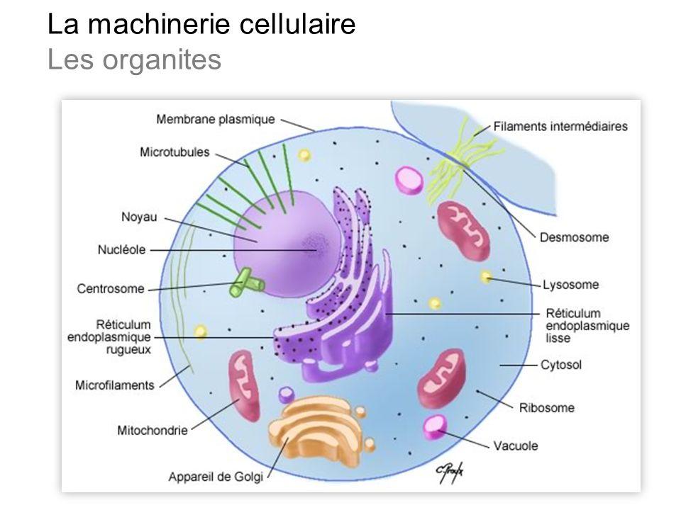 Les organites L Appareil mitochondrial Le cytosquelette Le centre nucléaire Le système endomembranaire Les péroxysomes Les réserves métaboliques