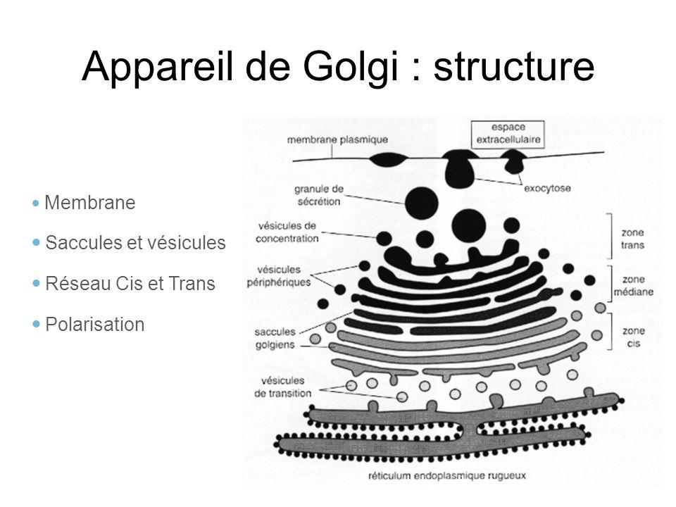 Appareil de Golgi : structure Membrane Saccules et vésicules Réseau Cis et Trans Polarisation
