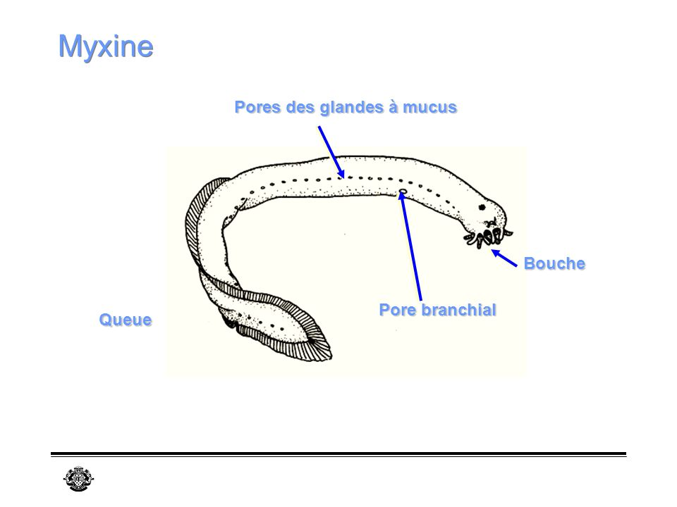 Myxine Pore branchial Bouche Pores des glandes à mucus Queue