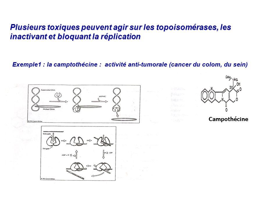Plusieurs toxiques peuvent agir sur les topoisomérases, les inactivant et bloquant la réplication Exemple1 : la camptothécine : activité anti-tumorale