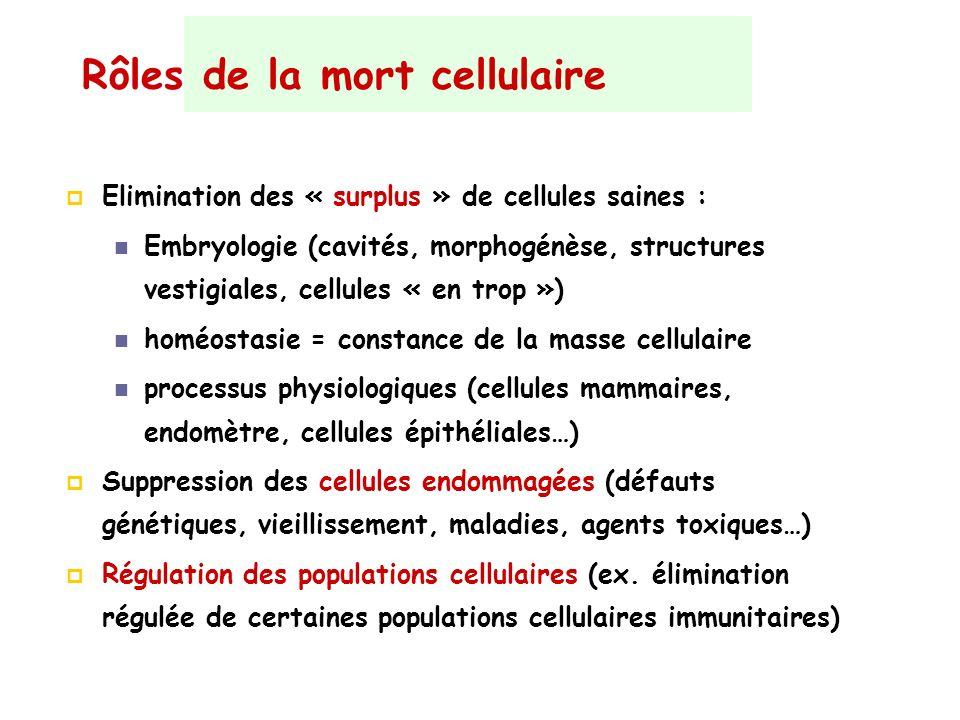 Rôles de la mort cellulaire Elimination des « surplus » de cellules saines : Embryologie (cavités, morphogénèse, structures vestigiales, cellules « en