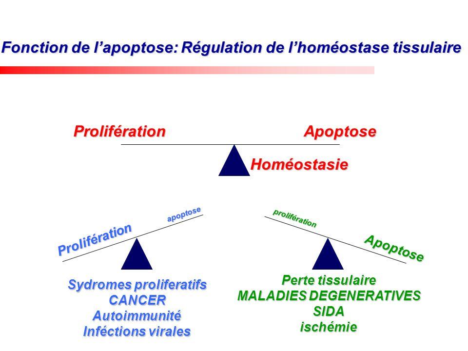 Fonction de lapoptose: Régulation de lhoméostase tissulaire ProliférationApoptose Prolifération apoptose Apoptose prolifération Homéostasie Sydromes p