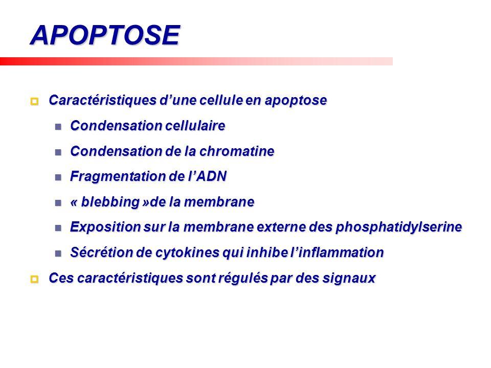 APOPTOSE Caractéristiques dune cellule en apoptose Caractéristiques dune cellule en apoptose Condensation cellulaire Condensation cellulaire Condensat