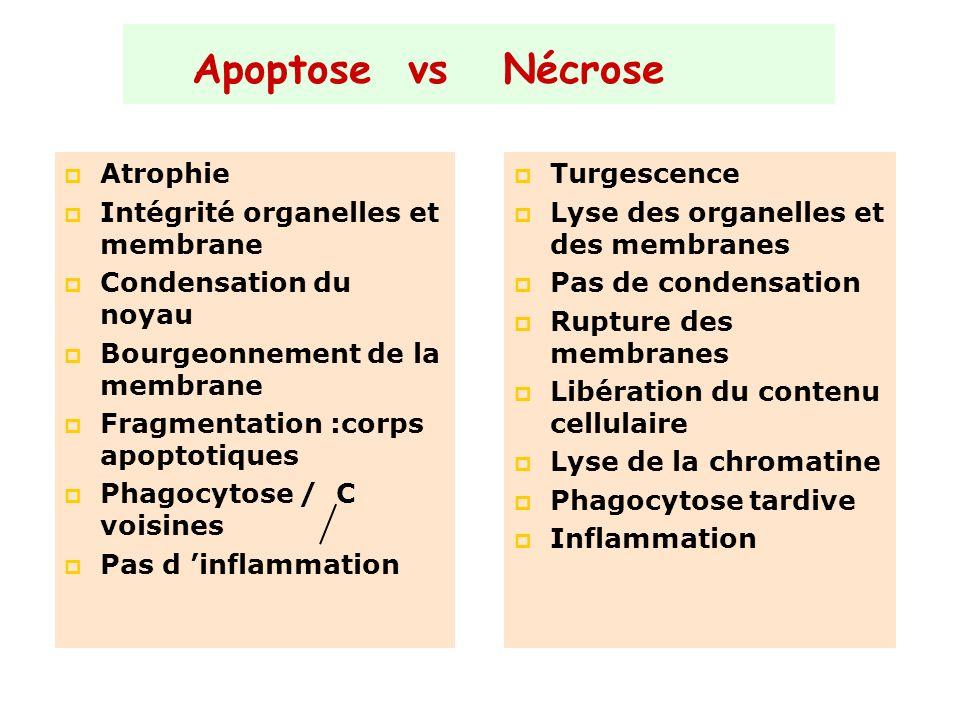 Apoptose vs Nécrose Atrophie Intégrité organelles et membrane Condensation du noyau Bourgeonnement de la membrane Fragmentation :corps apoptotiques Ph