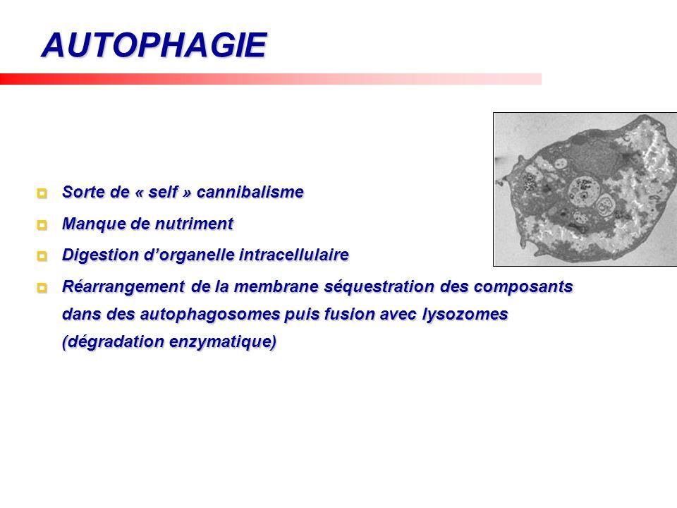 AUTOPHAGIE Sorte de « self » cannibalisme Sorte de « self » cannibalisme Manque de nutriment Manque de nutriment Digestion dorganelle intracellulaire
