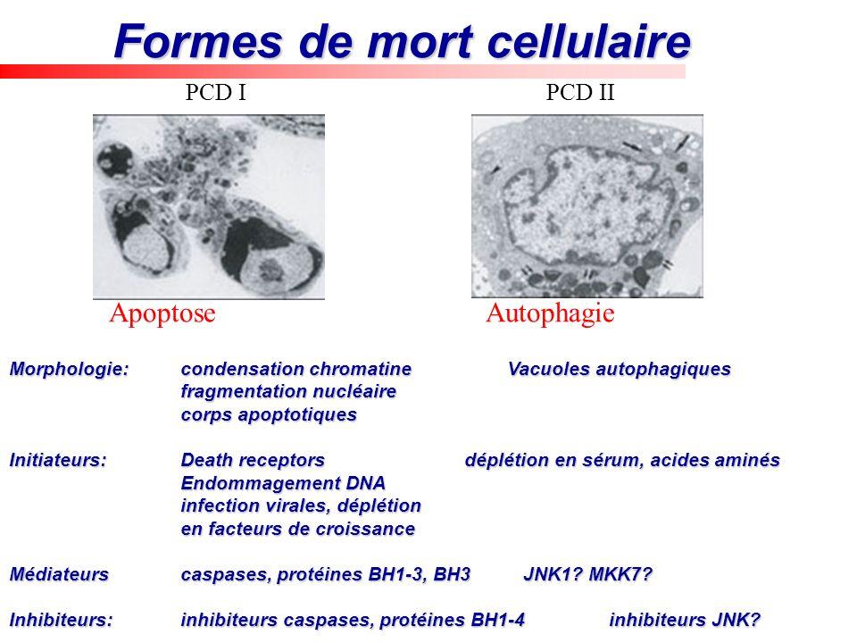 Formes de mort cellulaire Apoptose Autophagie Morphologie:condensation chromatine Vacuoles autophagiques fragmentation nucléaire corps apoptotiques In