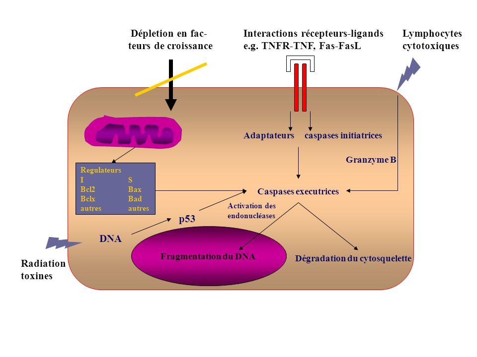 Radiation toxines Dépletion en fac- teurs de croissance Interactions récepteurs-ligands e.g. TNFR-TNF, Fas-FasL Lymphocytes cytotoxiques Regulateurs I