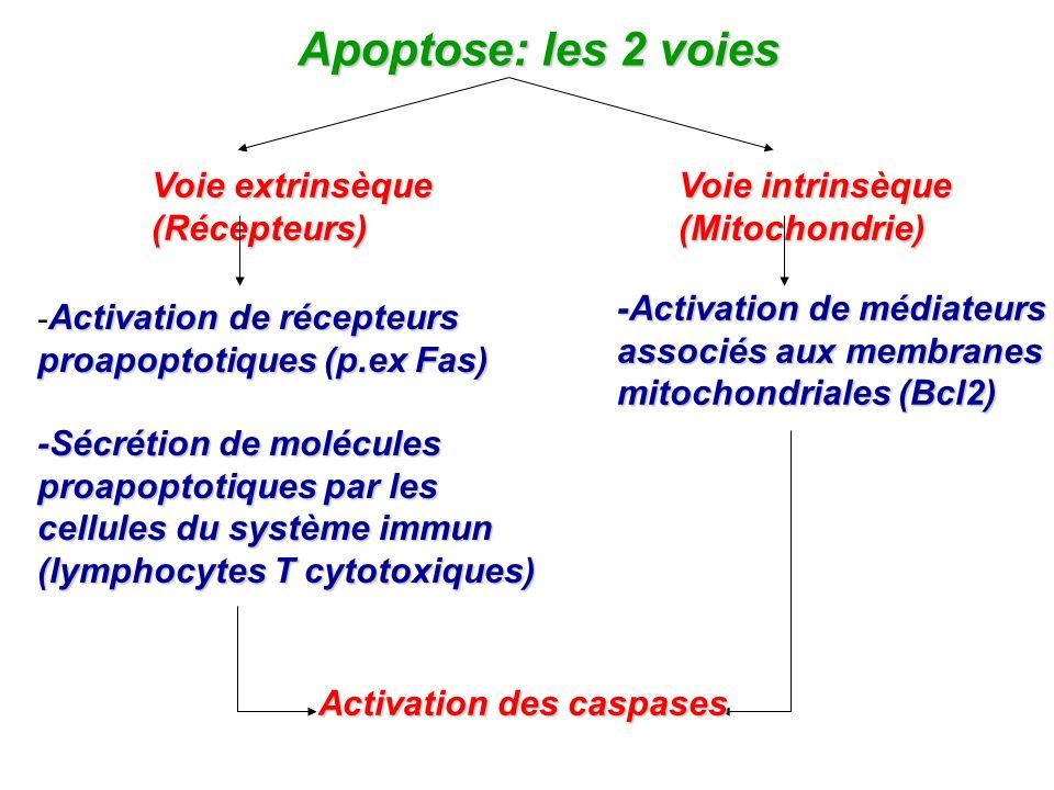 Apoptose: les 2 voies Voie extrinsèqueVoie intrinsèque (Récepteurs)(Mitochondrie) Activation de récepteurs - Activation de récepteurs proapoptotiques