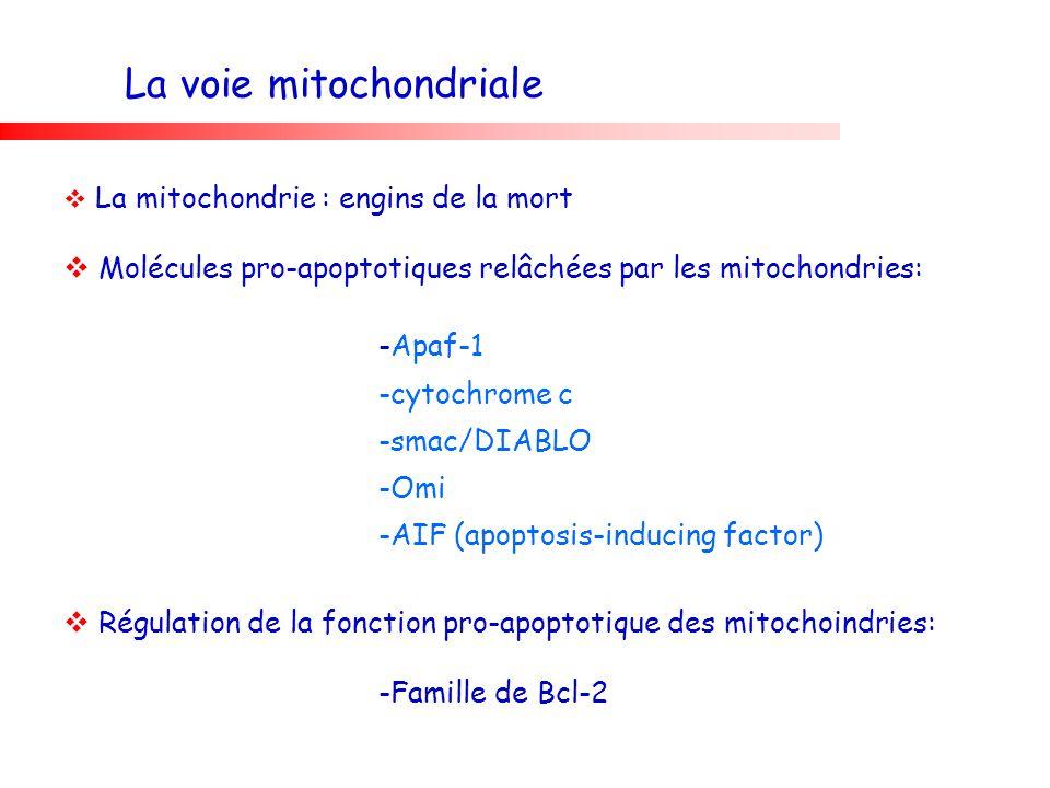 La voie mitochondriale La mitochondrie : engins de la mort Molécules pro-apoptotiques relâchées par les mitochondries: -Apaf-1 -cytochrome c -smac/DIA