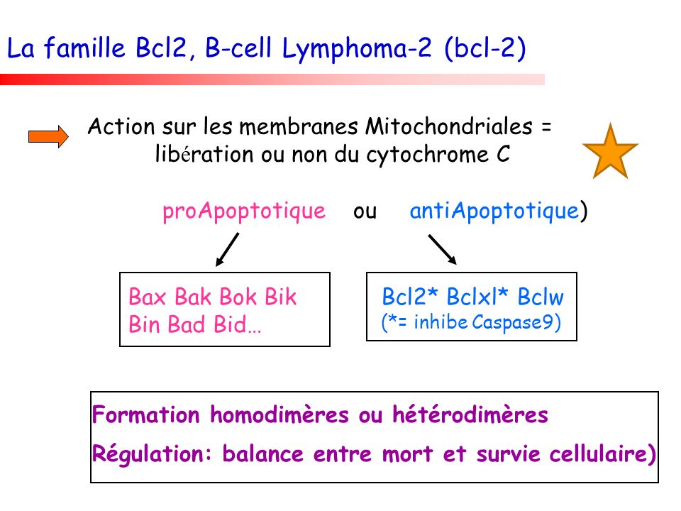 proApoptotique ou antiApoptotique) Bax Bak Bok Bik Bin Bad Bid… Bcl2* Bclxl* Bclw (*= inhibe Caspase9) Formation homodimères ou hétérodimères Régulati
