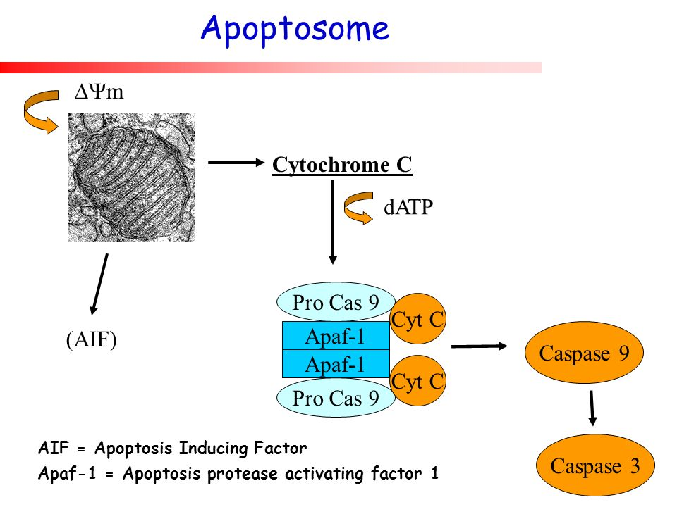 (AIF) m Cytochrome C dATP Apaf-1 Pro Cas 9 Cyt C Caspase 9 AIF = Apoptosis Inducing Factor Apaf-1 = Apoptosis protease activating factor 1 Apoptosome