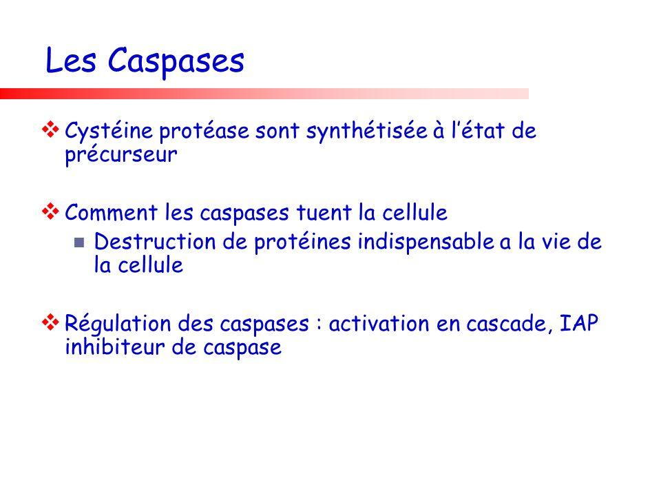 Les Caspases Cystéine protéase sont synthétisée à létat de précurseur Comment les caspases tuent la cellule Destruction de protéines indispensable a l