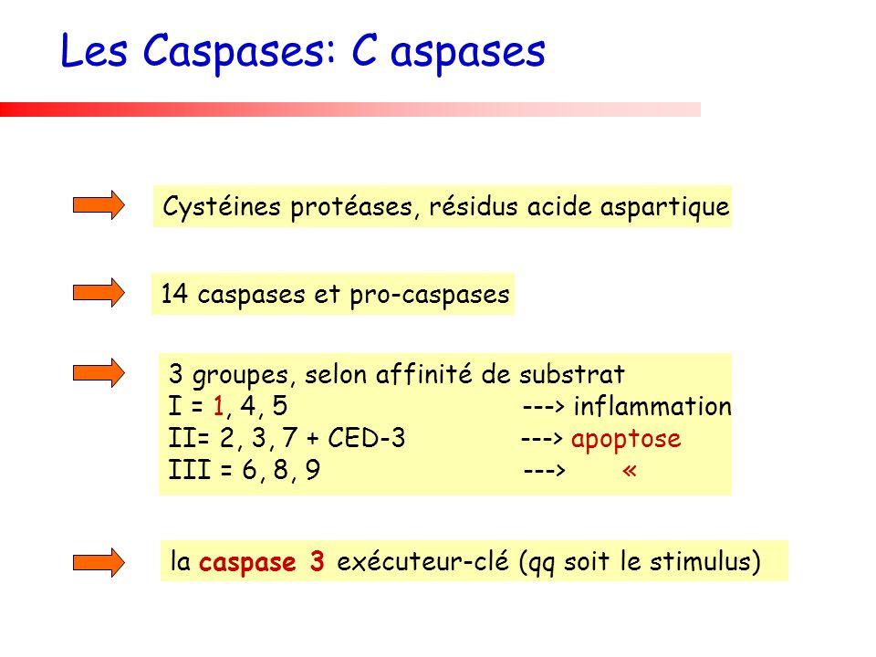 14 caspases et pro-caspases Cystéines protéases, résidus acide aspartique 3 groupes, selon affinité de substrat I = 1, 4, 5 ---> inflammation II= 2, 3