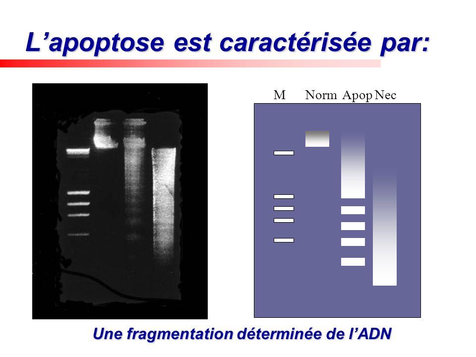 Lapoptose est caractérisée par: Une fragmentation déterminée de lADN M Norm Apop Nec