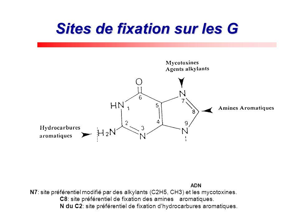 Sites de fixation sur les G ADN N7: site préférentiel modifié par des alkylants (C2H5, CH3) et les mycotoxines. C8: site préférentiel de fixation des