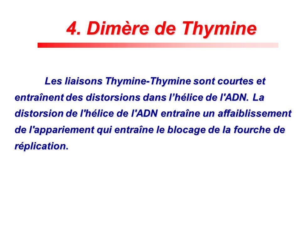 Les liaisons Thymine-Thymine sont courtes et entraînent des distorsions dans lhélice de l'ADN. La distorsion de l'hélice de l'ADN entraîne un affaibli