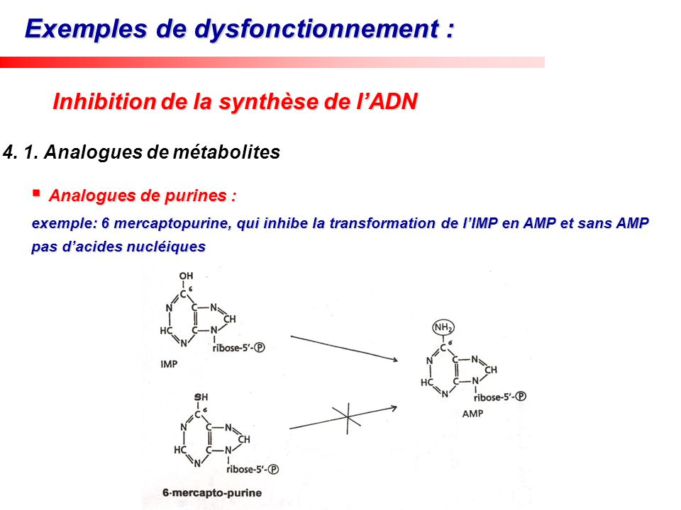 Analogues de purines : Analogues de purines : exemple: 6 mercaptopurine, qui inhibe la transformation de lIMP en AMP et sans AMP pas dacides nucléique