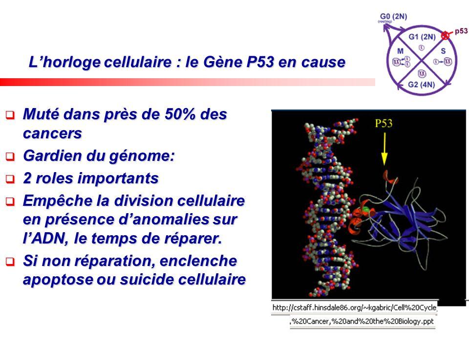Lhorloge cellulaire : le Gène P53 en cause Muté dans près de 50% des cancers Muté dans près de 50% des cancers Gardien du génome: Gardien du génome: 2