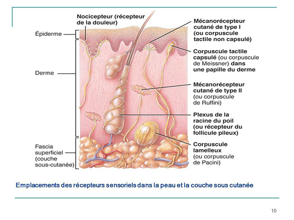 10 Emplacements des récepteurs sensoriels dans la peau et la couche sous cutanée